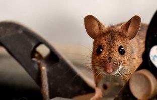 Muizen in huis voorkomen